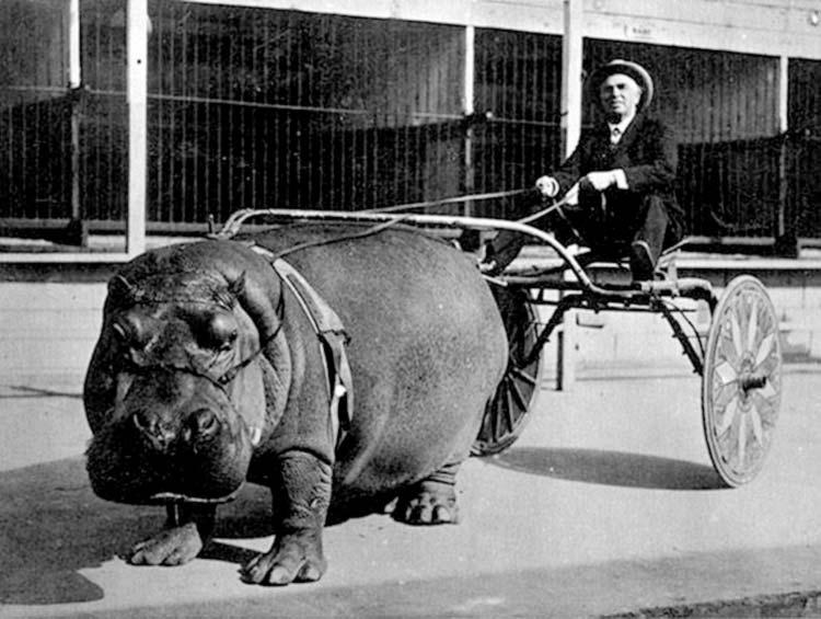 photo ancienne bizarre hippopotame